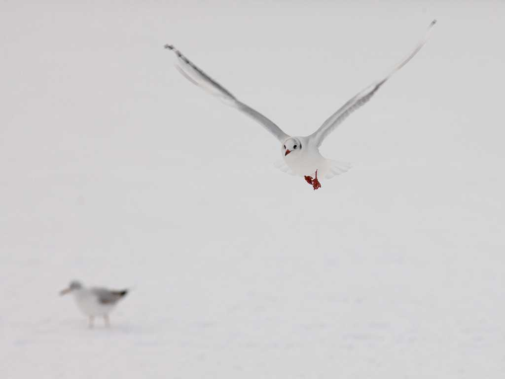 Black-Headed Gulls.jpg