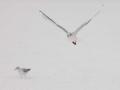 Black-Headed Gulls.jpg