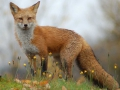 New England fox.jpg