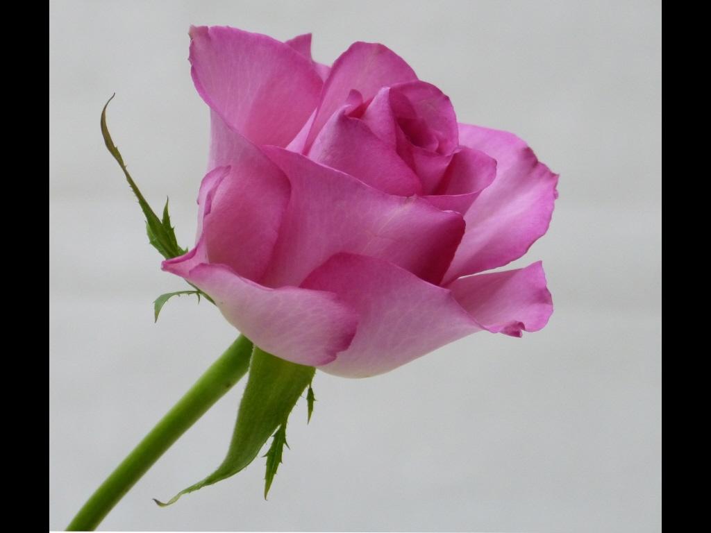029_flowers_pink-rose-jpg