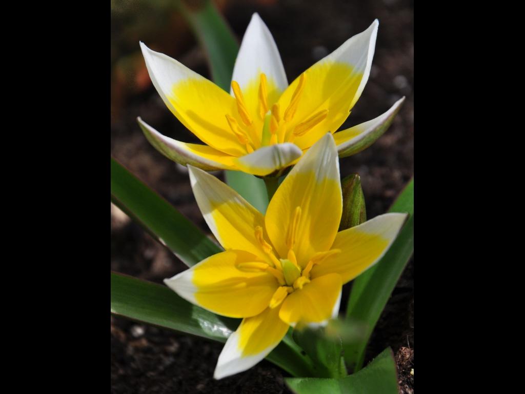 039_flowers_wild-tulips-jpg