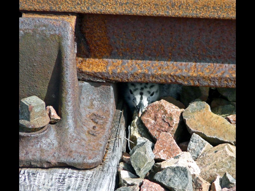 017_tribattle_not-what-ir-seems_not-a-rail-but-a-nest-jpg