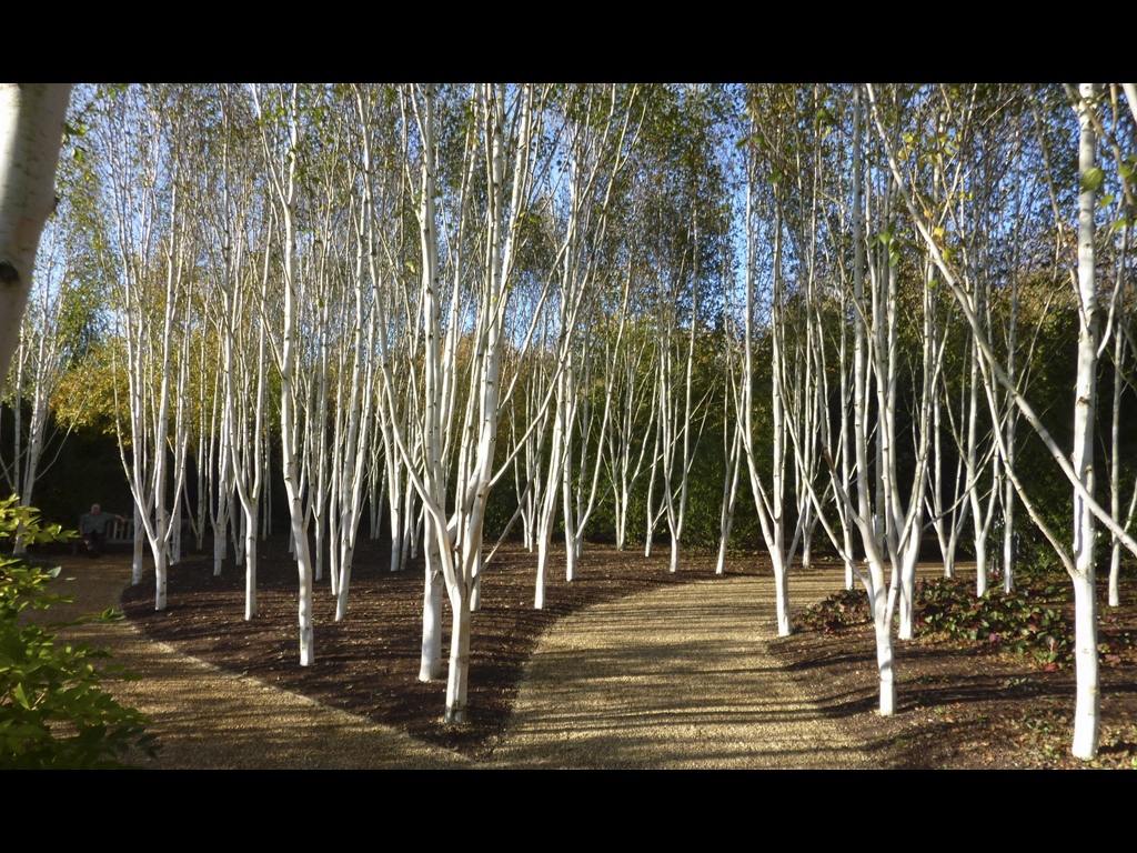 024_trees_birch-paths-jpg