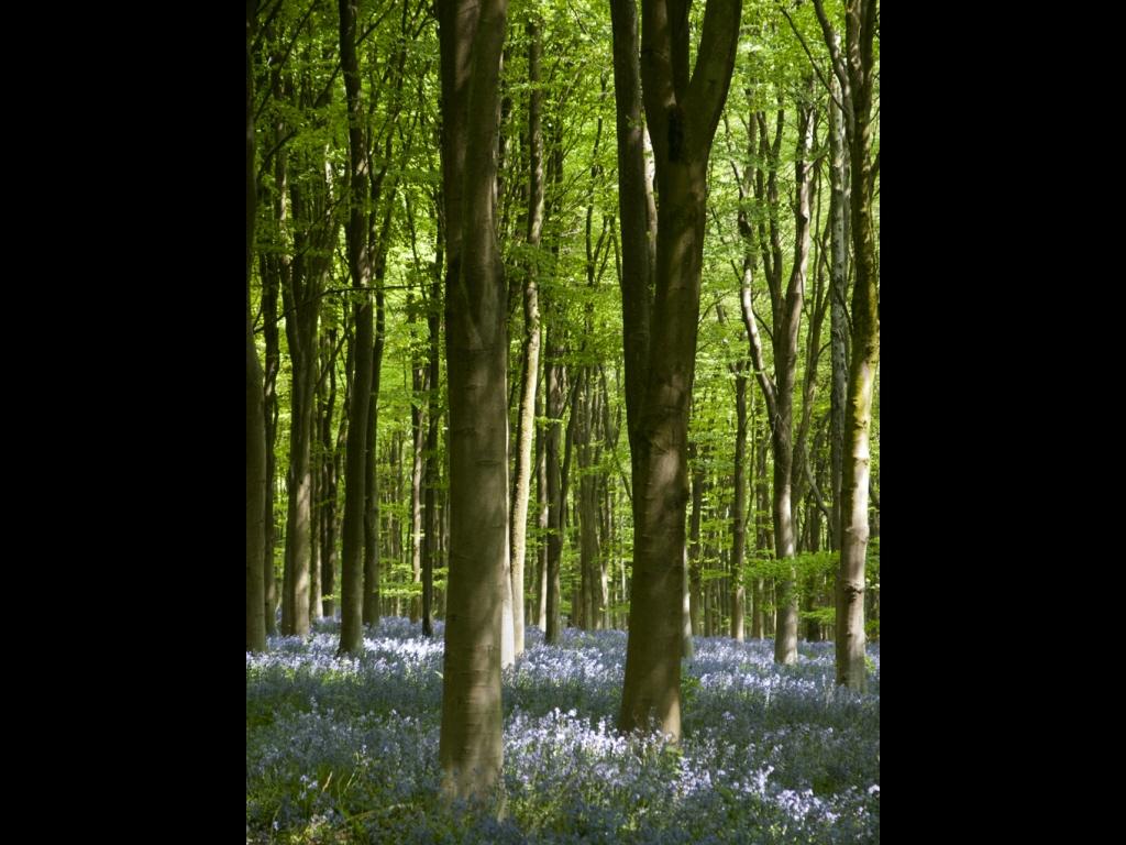 024_trees_bluebell-wood-jpg