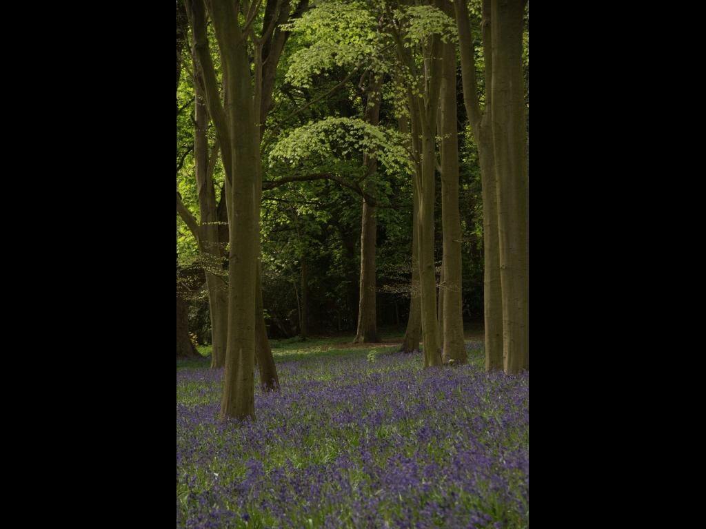 039_trees-_bluebellwood-jpg